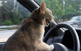 driving lolcat listening to WWOZ