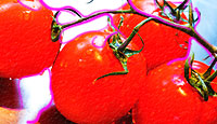 stylized photo of tomatoes