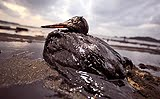 Oil-soaked bird