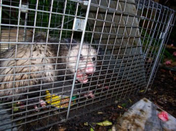 For this party, we'll let out all the possums!