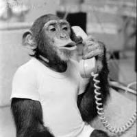 Serious monkey talking on phone