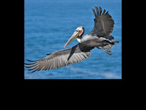 Oiled brown pelican, photo by Alan Wilson